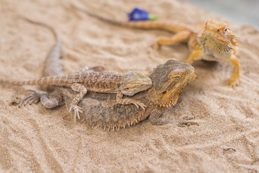 breeding bearded dragons