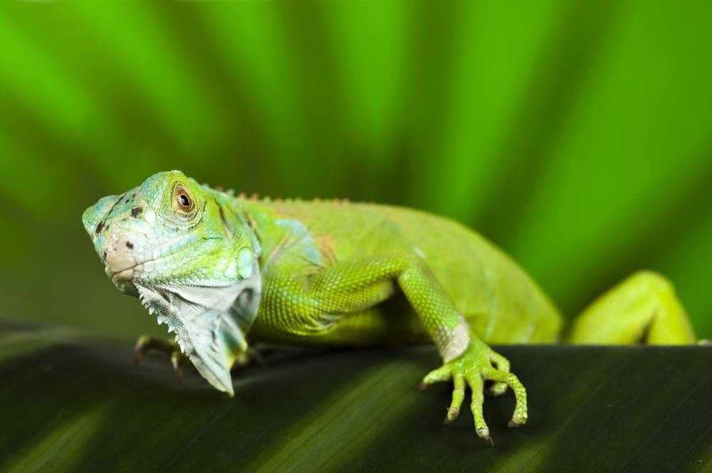iguana plants