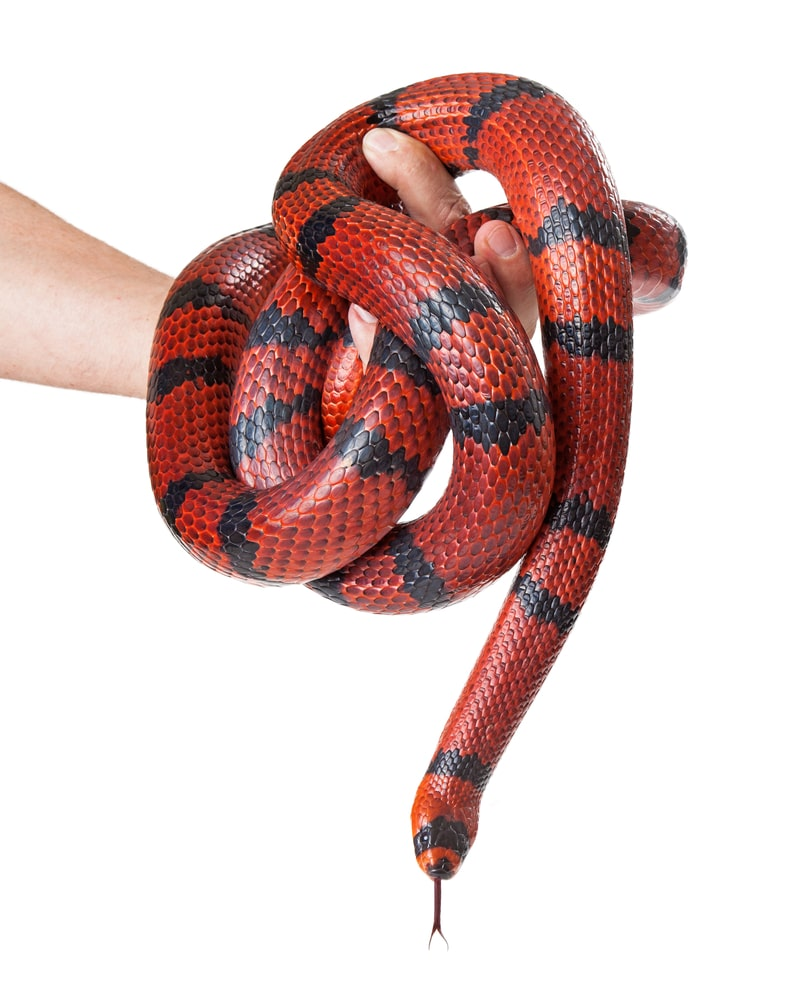 Man Holding A Red Milk Snake