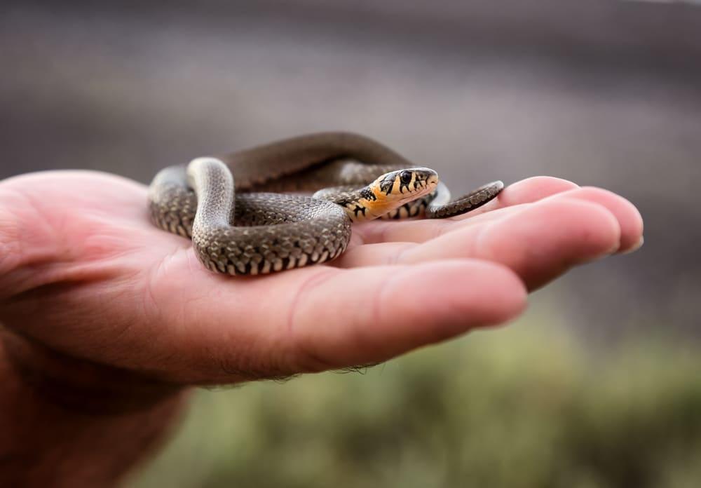 Small grass snake