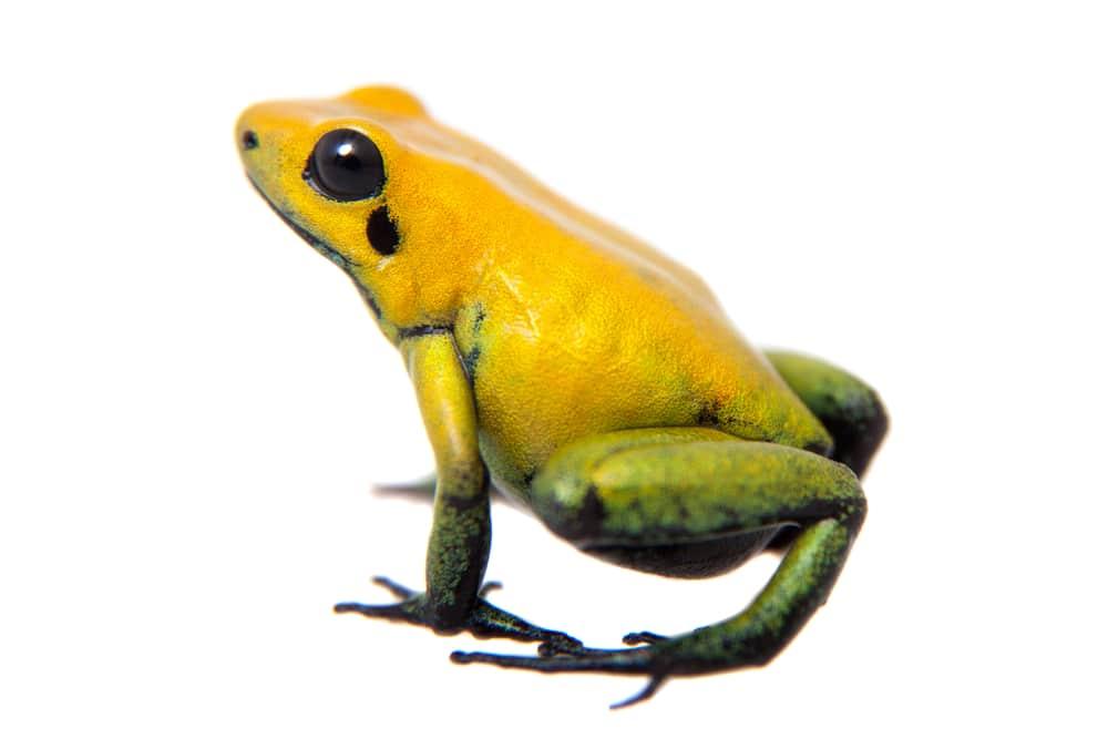 Black-legged poison frog