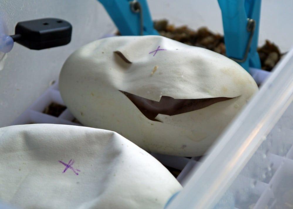 ball python eggs hatching