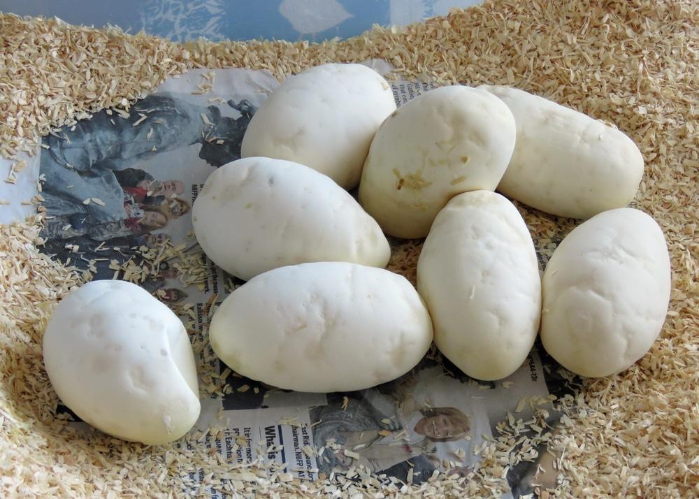 ball python eggs
