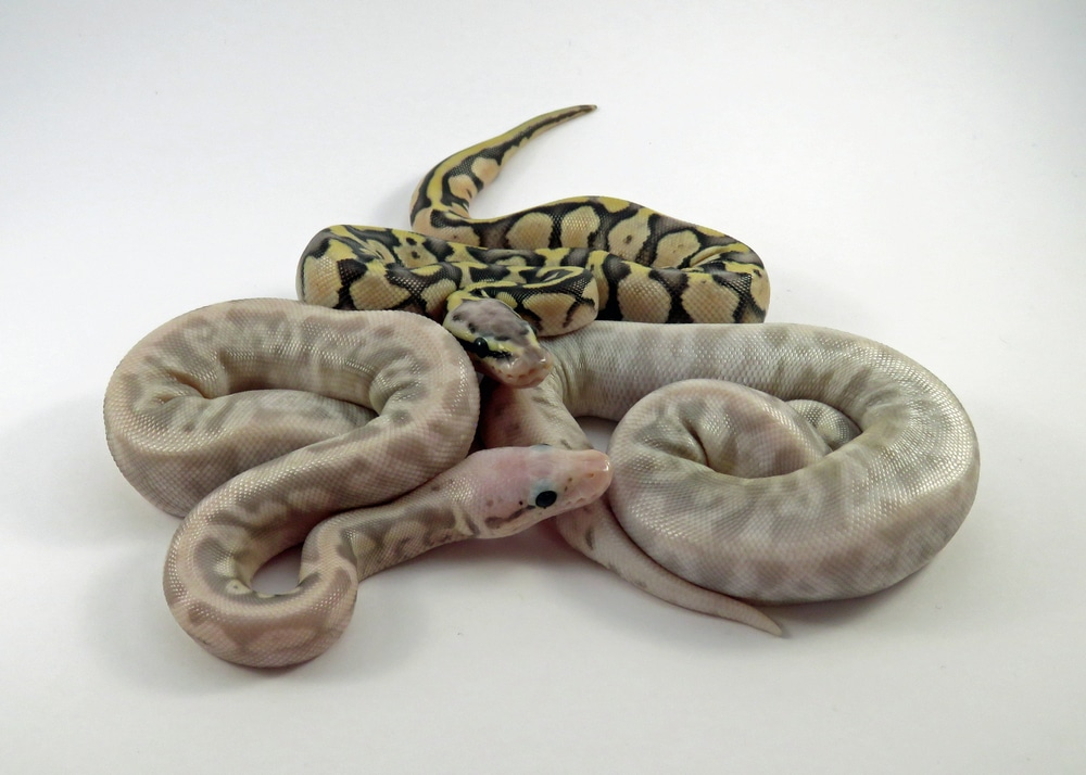 breeding ball pythons babies