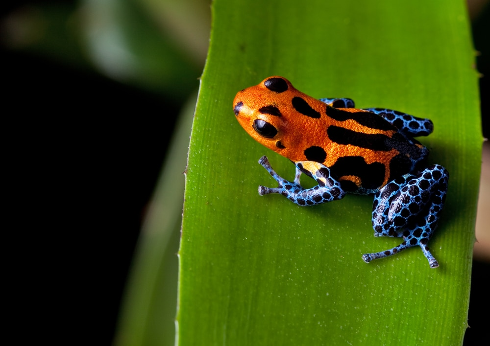 red striped poison dart frog