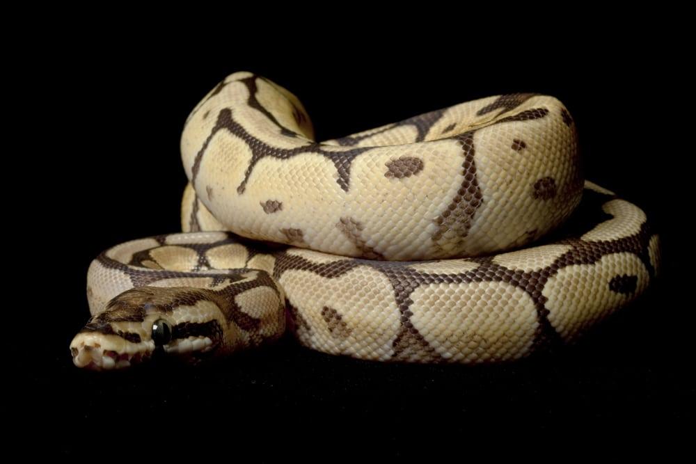 Spider Mojave ball python