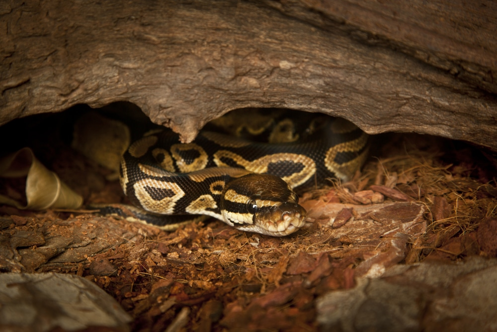 ball python enrichment