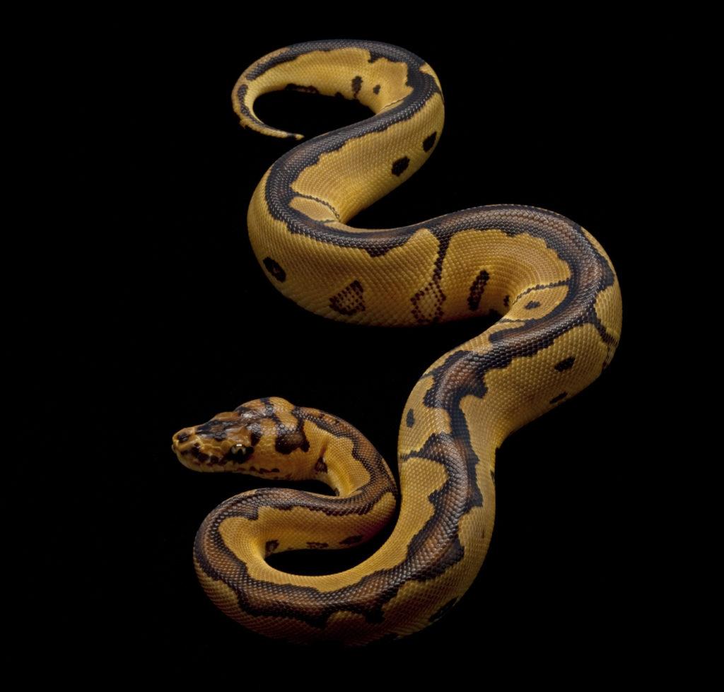 clown ball python (Python regius)