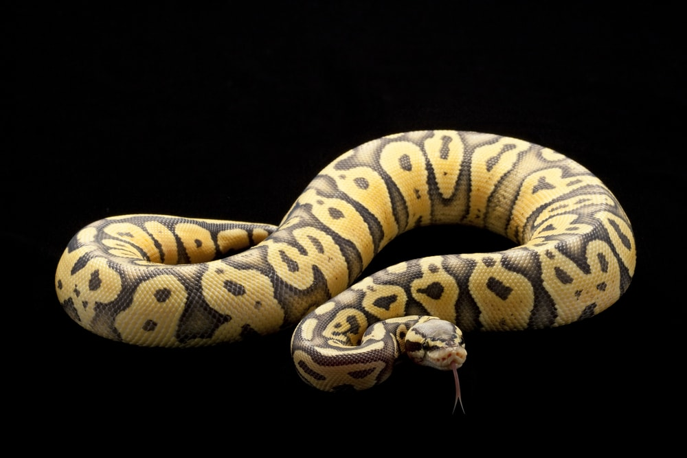 Super pastel ghost ball python