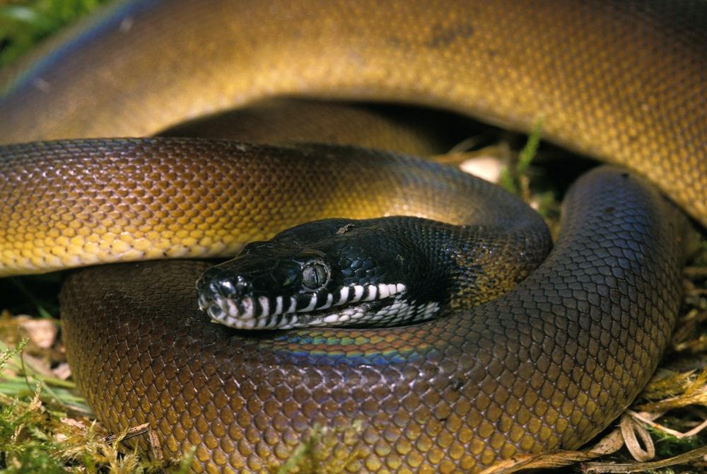 White Lipped Python, liasis albertisi