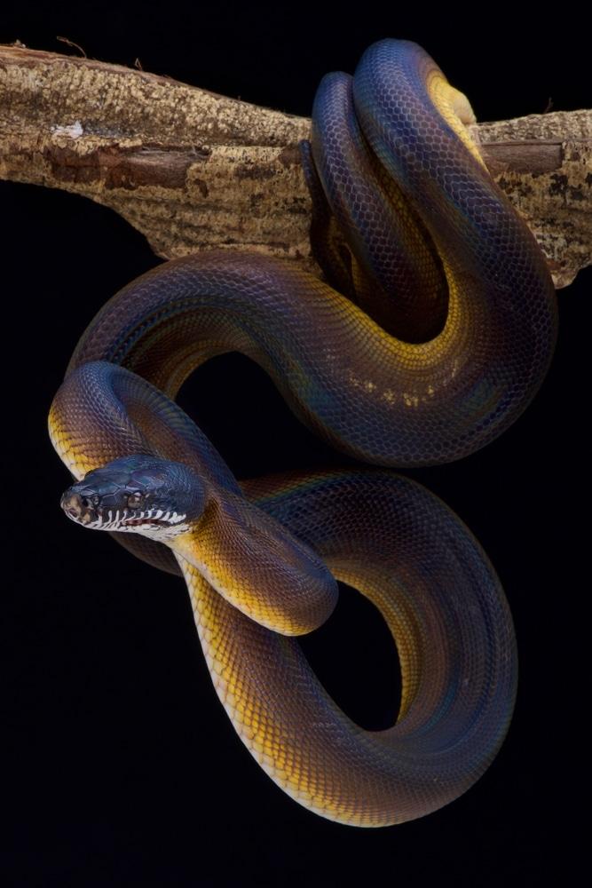 White lipped python (Bothrochilus albertissi)