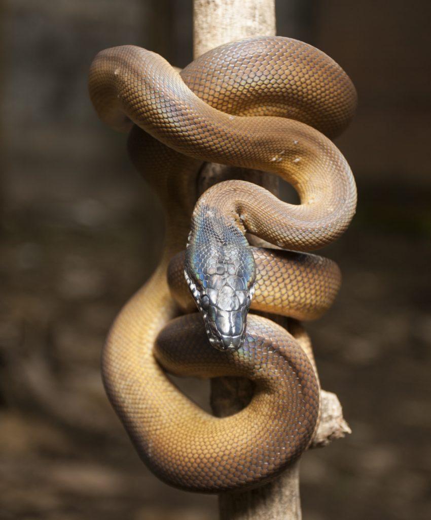 white lipped python in the wild